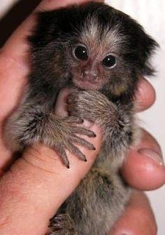 thumb marmoset