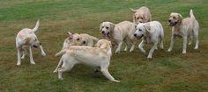 Kidust labradors  Nora met broers en zusjes aug 2012