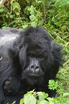Silverback of Ntambara group - Mountain gorilla - Wikipedia, the free encyclopedia