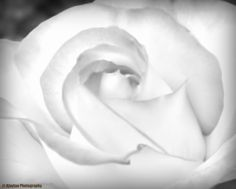 Rose - B & W - 7 - Ajaytao