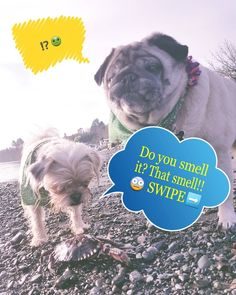 """Swipe    """"A kind of smelly smell that smells smelly."""" (Sponge bob)  Goodmorning we had sum #fun at the beach and did we find some things to smell and explore!!   #crab #beach #smelly  Happy #weekend friends #sea #1schnug #schnugypoopoo #pug #schnauzer #pugmix #dog #playtime #stinky #ocean #dogmeme #meme #love #me #selfie #instagram #pet #departurebay  #cute #adorable #photo #funny #lol #nanaimo #vancouverisland"""