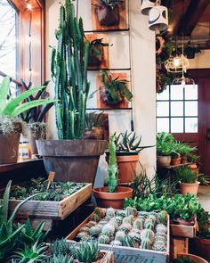 Cacti and succulents often looks alike. Did you know that tall guy in the corner, Euphorbia trigona, is actually a succulent?