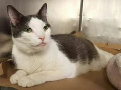 *** TO BE DESTROYED 04/14/17 *** RETURN!! DIABETIC --- 9 yr old EMMA was returned due to owner having surgery - she has dental issues and will need extractions after adoption - already spayed and ready to go to her new home!