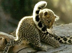 baby leopard playing