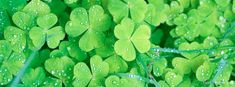St. Patrick's Day Clovers  Facebook Timeline Cover on http://www.covermytimeline.com