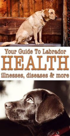 Labrador health: free online resources, to answer all of your Lab health questions