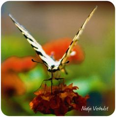 Nikon D 70. Butterfly in front
