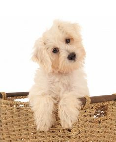 how much is a dog haircut teddy schnoodle puppies for search 5138 | 6f5d5138ee5e7e5cfc4e7b5bf258382c small teddy bears bows