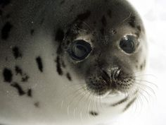 To Kill or Not to Kill? New Hope in the Fight to Save Baby Seals