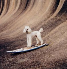 Surfer poodle Darcy at wave rock in Western Australia