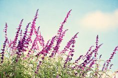 """Purple Flower Photography - blue aqua green cream mexican sage bush print floral wall art violet branches nursery picture, """"Afternoon Walk"""""""