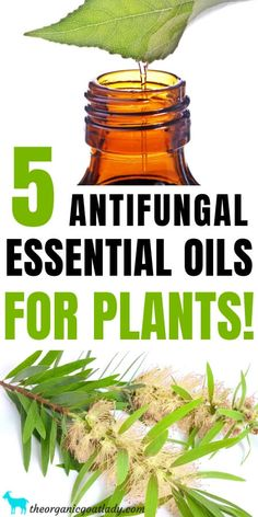 5 Antifungal Essential Oils for Plants - The Organic Goat Lady Homemade Essential Oils, Cinnamon Essential Oil, Tea Tree Essential Oil, Best Essential Oils, Young Living Essential Oils, Essential Oil Blends, Niaouli Essential Oil, Patchouli Essential Oil, Aromatherapy Recipes