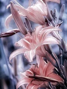 splash of delicate pink on the flowers, lovely Exotic Flowers, Amazing Flowers, My Flower, Beautiful Flowers, Flowers Nature, Flowers Pics, Lilly Flower, Cactus Flower, Flower Pictures