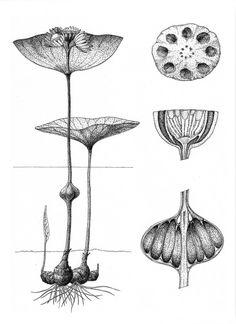 Seed Illustration, Botanical Illustration, Nature Drawing, Plant Drawing, Botanical Drawings, Botanical Prints, Scientific Drawing, Stippling Art, Organic Art