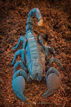 """Imperial Scorpion by """"Blepharopsis"""" on deviantart. You can always rely on this photographer for AMAZING macro shots of exotic creatures."""