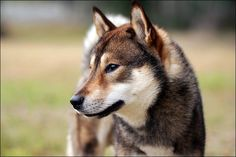 Shikoku Ken Inu Dog, Japanese Wolfdog, Japanese dogs are just the cutest...