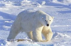 Big Polar Bears Animal Picture Photo HD Wallpaper For PC Desktop
