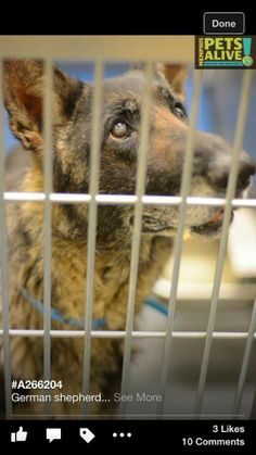 PLEASE SHARE FAR AND WIDE - TODAY 5-23 COULD BE HIS LAST DAY**GERMAN SHEPHERD DUMPED @ Memphis Animal Services. He's 7 years old and was surrendered by his owner. Please contact Memphis Animal Shelter TODAY to save him. His ID# A266204. PLEASE SHARE SO WE CAN GET HIM OUT OF THERE. This dog deserves to live out his life. THE NUMBER TO MAS IS 901-636-1416. https://www.facebook.com/photo.php?fbid=657125397702605&set=a.381816198566861.89989.381799331901881&type=1&theater