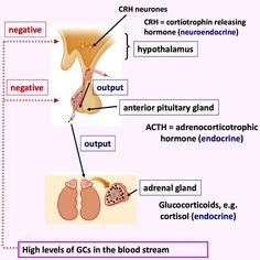 Anatomy question - superior mediastinum - aortic arch relations ...