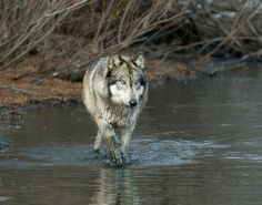 Wolf Park Photo by SmugMug user: MTaylor - Hosted by SmugMug | Keyword(s): wolf walking through muddy stream of water.