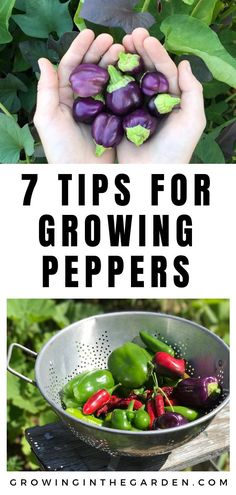 Garden Types How to Grow Peppers – Growing Peppers – Gardening Organic Vegetables, Growing Vegetables, Fruits And Vegetables, How To Plant Vegetables, Organic Nutrients, Gardening Vegetables, Garden Types, Growing Peppers, Growing Tomatoes