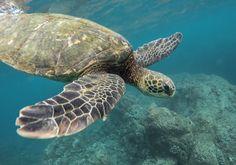 Beautiful closeup shot of a large turtle... | Free Photo #Freepik #freephoto #travel #water #line #green Best Island In Hawaii, Best Hawaiian Island, Hawaiian Islands, Tortoise House, Turtle Swimming, Gili Island, Animal Posters, Marine Life, Habitats