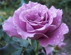 Resultado de imagem para boa noite com rosas