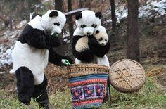 Tao Tao the baby Panda, the first born in near-wild captivity, has never seen a human face <3