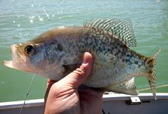 crappie great fun and tastes good!