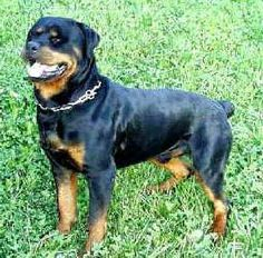 Beauty! #rottweilers