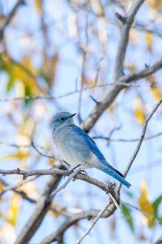'Mountain Bluebird' by Barbara Magnuson & Larry Kimball