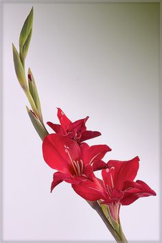 Gladiolus - general reference--but again, I don't want a lot of buds or a lot of green.