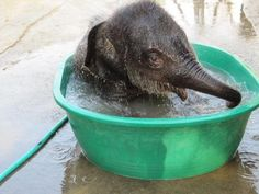 baby elephant at bath time in Thai elephant rescue camp. Oh wouldn't Annie like an elephant this size. Elephant Bath, Thai Elephant, Elephant Love, Baby Elephants, Indian Elephant, Cute Baby Animals, Animals And Pets, Funny Animals, Wild Animals