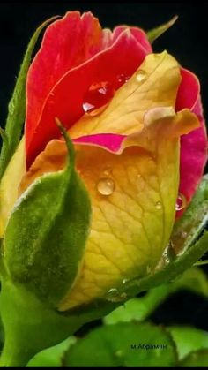 Beautiful Rose Flowers, Amazing Flowers, Fresh Flowers, Beautiful Flowers, Yellow Roses, Red Roses, Trees To Plant, Plant Leaves, Special Flowers