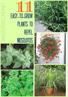 Want to prevent those pesky mosquitos from bothering you all Summer long?  Check out these 11 Easy-to-Grow Plants to Repel Mosquitos!  It's a must-read...