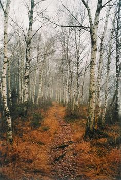 path in the birch - photo #14