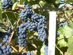 Red wine grape Leon Millot's ability to ripen early in short growing seasons keeps it commercially important to wineries in Michigan, Ohio, and along the Atlantic seaboard as far north as Nova Scotia. http://www.snooth.com/varietal/leon-millot/