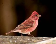 1000 images about smoky mountain birds on pinterest the for Www cabins of the smoky mountains com