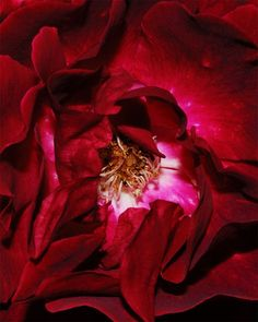 50 Examples of Natural Macro Photography | PSDFan.  #red. #rose. #flower. #macro.