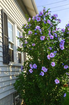 My Yard ❤️ Purple Rose Of Sharon - Hibiscus Syriacus. Purple Hibiscus is a vibrant flo Garden Shrubs, Flowering Shrubs, Garden Pests, Trees And Shrubs, Hibiscus Shrub, Purple Hibiscus, Purple Rose, Hibiscus Garden, Rose Of Sharon Tree