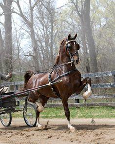 Dutch Harness Horse | Barno, KWPN #528003 06.03196