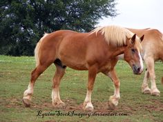 Historically, it is theoretically possible the Belgian may have had ancestors who were destriers in the Middle Ages, although there is no independent evidence to support this claim. The foundation stock for the Belgian was originally known as the Brabant. Other names for essentially the same breed include the Cheval de trait Belge, Brabançon, and Belgisch Trekpaard. Img: Belgian horse or Belgian Draft horse.