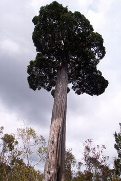 Fitzroya cupressoides. Lives to 3600 years, only seeds at 200yrs. Awesome.