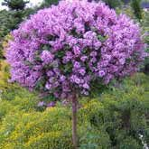 The Only Reblooming Lilac Tree!   - If you love lilacs but have always wished for a longer blooming season, try the reblooming Bloomerang Lilac tree!  • Get blooms twice a year- in mid-May, and again from July to first frost! • It has a magnificent fragrance that fills the air with its jasmine scent • Perfect...