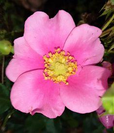 Rosa Trepadeira Cherokee cor ROSA de Pétalas Singelas - Muda Enxertada - Raridade - Jardim Exótico - O maior portal de mudas do Brasil.