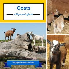 Already have a few goats or just thinking of getting a couple? This Goat Guide is a must read. It is loaded with links to helpful goat information.