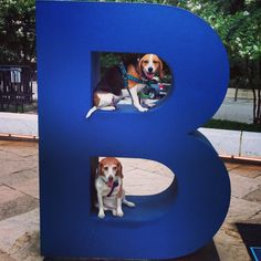B is for BEAGLES