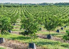 Beneficioso para los agricultores y para el medio ambiente. Así se presenta Tree T-PEE, un contenedor de agua y nutrientes creado con plástico reciclado que se ubica en la base de los árboles para protegerlos del frío y proveerlos del agua y el ferti