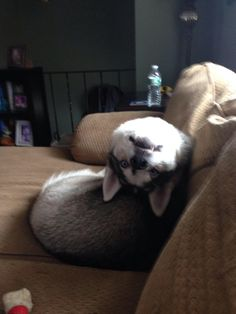 Husky responding to his name in a completely normal manner http://ift.tt/2x3JJ58