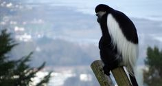 When you've got the weight of the whole world on your shoulders. (black and white colobus monkey)